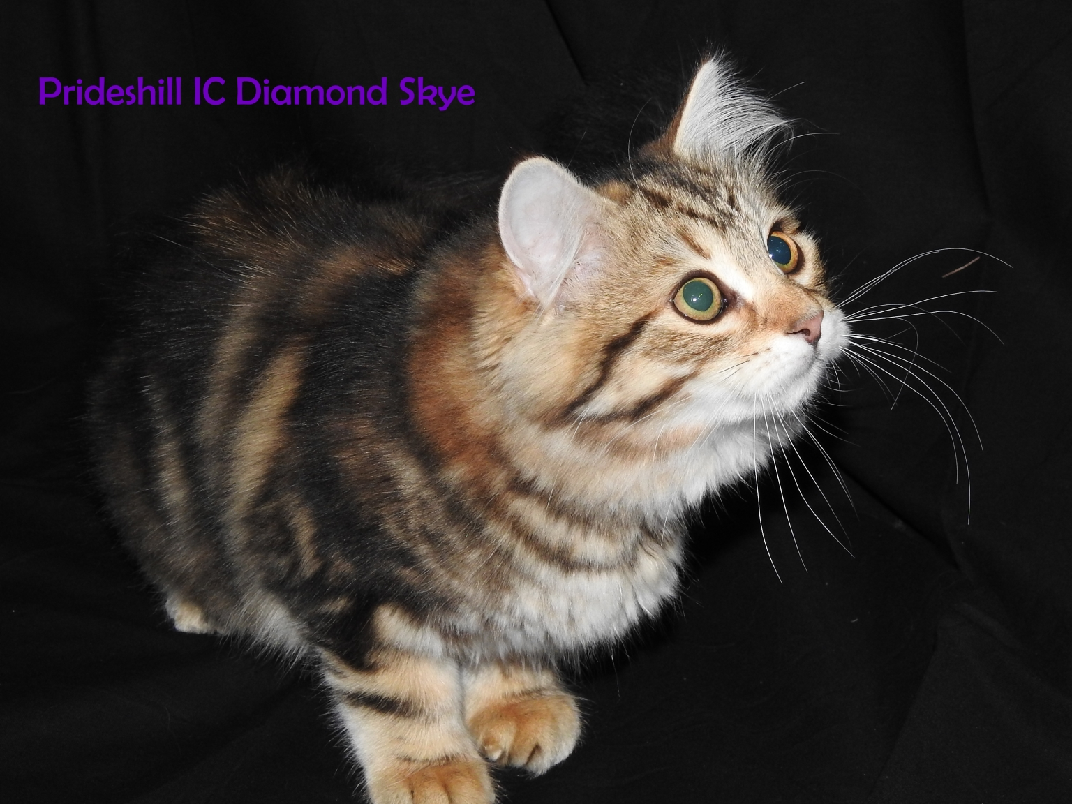 Prideshill IC Diamond Skye - 14 wks