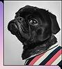 Piccolo cucciolo di carlino nero che indossa una camicia a strisce