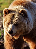 european-brown-bear-2193729_1920.jpg