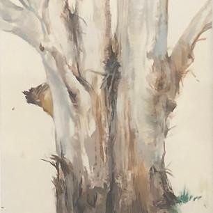 Mill Valley Eucalyptus