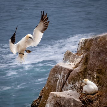 'Gannet Home Coming' by Vittorio Silvestri