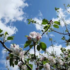 æbleblomster.png