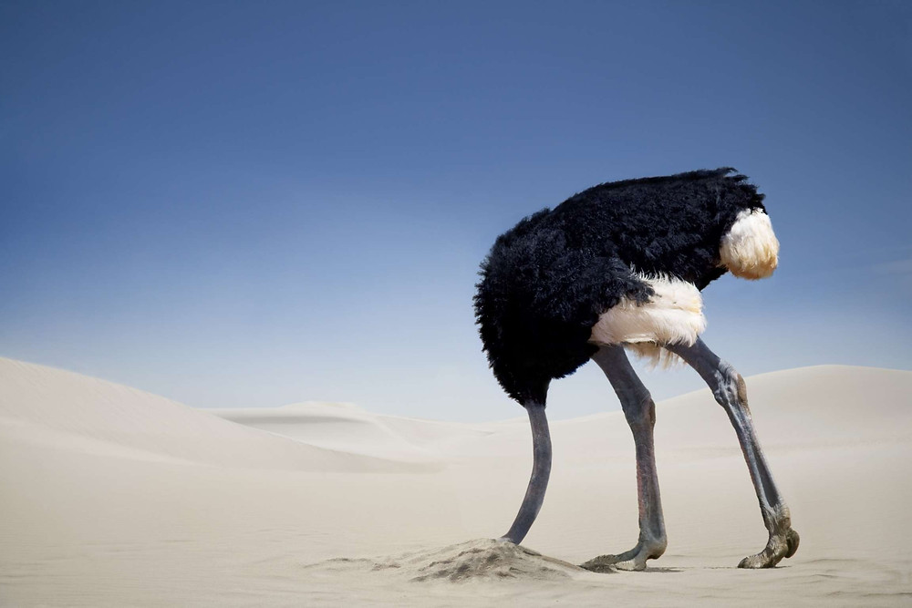 Ostrich burying its head in the sand in a desert
