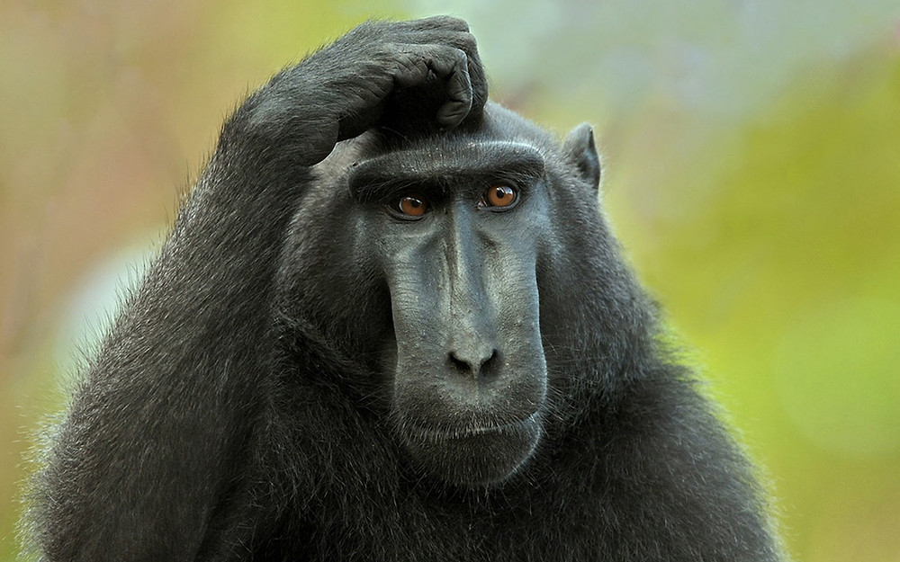 Monkey scratching head in confusion