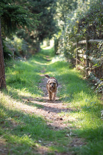 Pet Photography - Border Terrier
