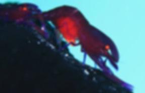 362A4566.jpg 抱卵しているウミウシカクレエビ11~12月.jpg
