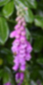 Digitalis purpurea.jpg