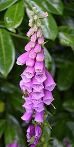 Digitalis purpurea.jpg