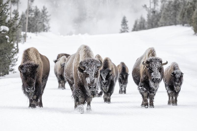 Bull Bison (Bison bison) herd in snow.jp