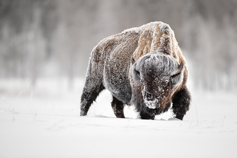 Winter+Bison.jpg