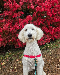 Poodle red flowers.jpg
