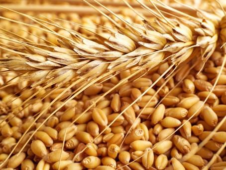 El trigo. ¿Enemigo de nuestra dieta?
