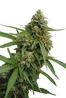 Expertos en cannabinoides y la investigación de cannabis