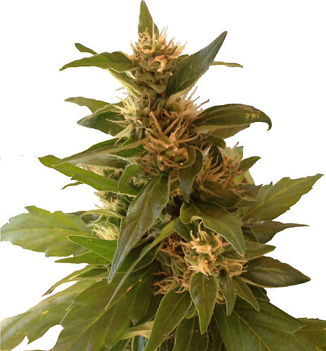 CBD Sweet Hemp (10 Seeds)