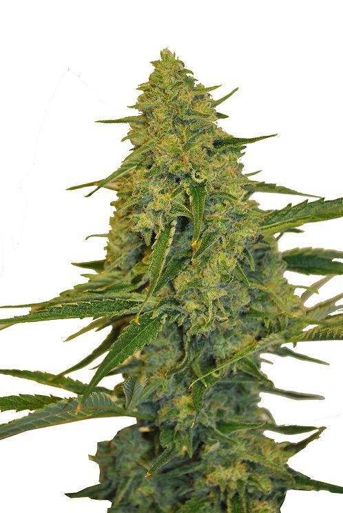 Chem Dawg CBD 3 seed
