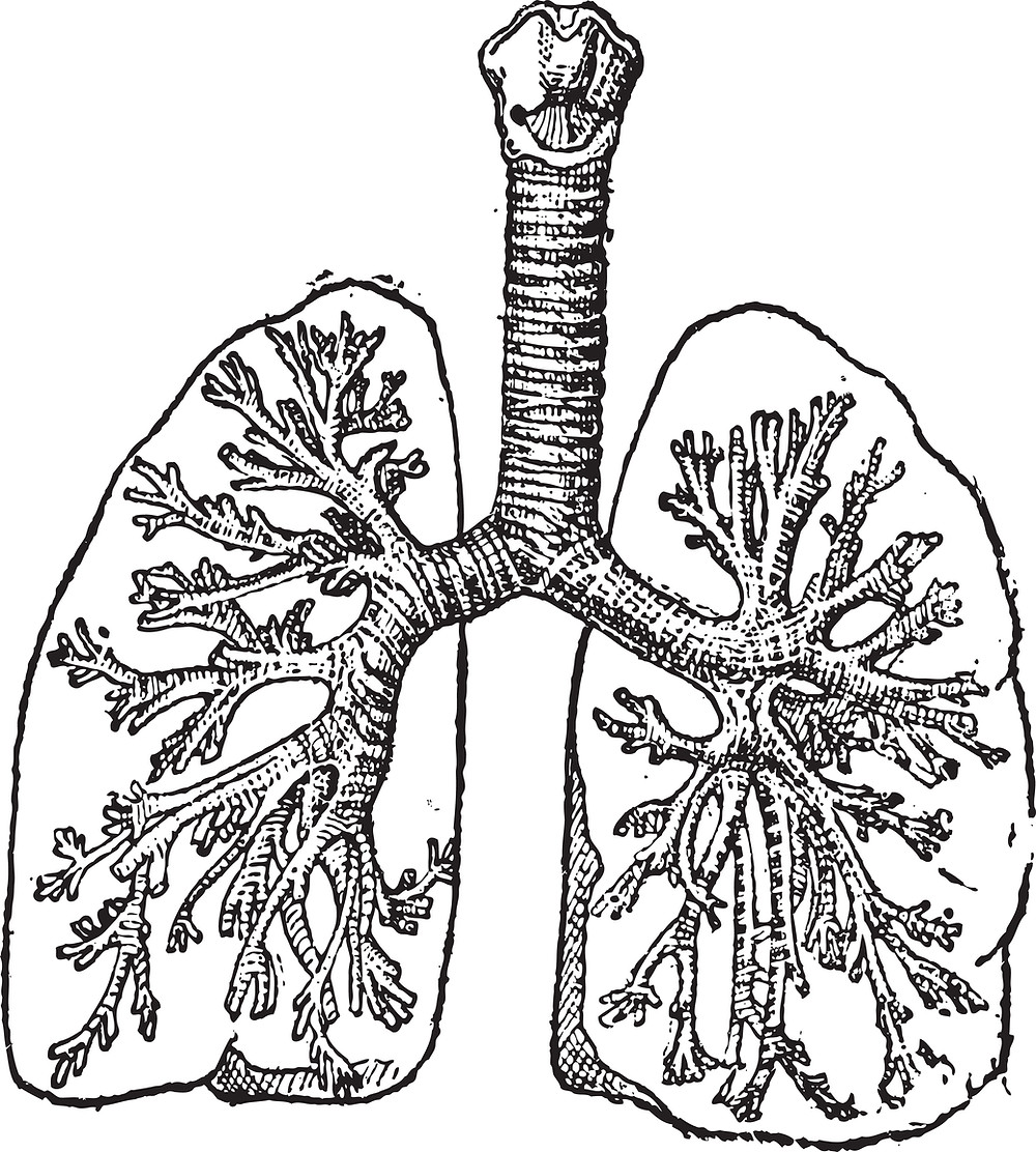A sketch of the lungs