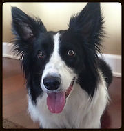 happy border collie smiling for the camera on his dog walk