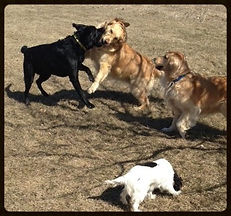 dogs at the dog park having a play date