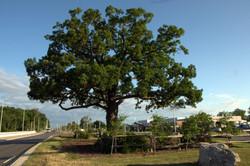 Oakville Oak Tree