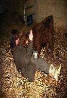 Guérie notre première vache