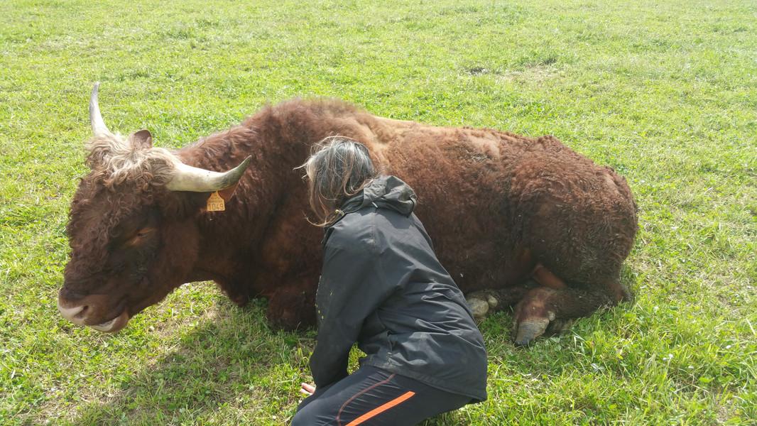 Orient est un taureau  d'une extrême gentillesse.  Tous les éleveurs  vous diront de ne pas faire  confiance à un taureau  mais Hélène a toujours  câliné ses taureaux.  Au grand dam de tous...
