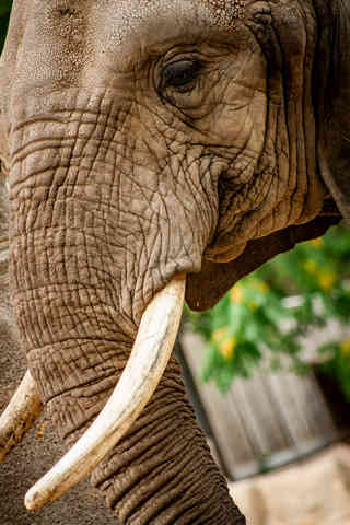 Wrinkles (Elephant)