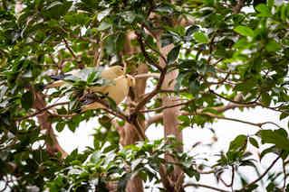Love Birds (Dove)