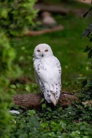Yellow Eyes (Snow Owl).jpg