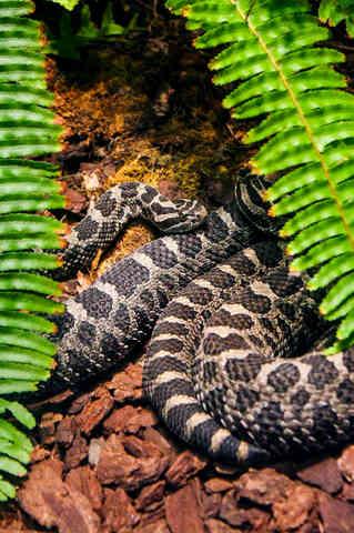 Soaking up Shade  (Rattle Snake)
