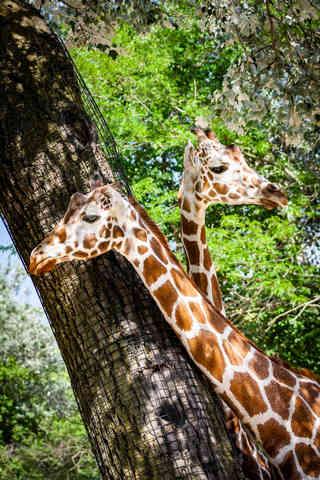 Spots Under Shadows (Giraffes).