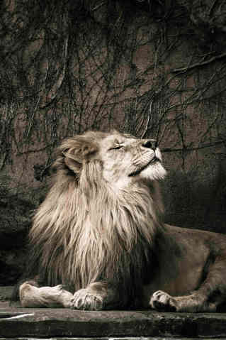 Chill of the Day (Lion)