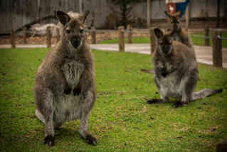 Intriguing  (Wallaby)