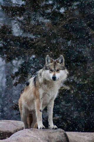 Cold Night Wolf.jpg