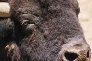Reflection of a Buffalo