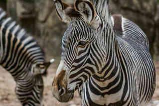 Stripes (Zebra).jpg