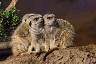 Take Watch (Meerkats)