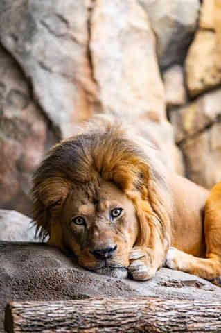 Connection (Lion)