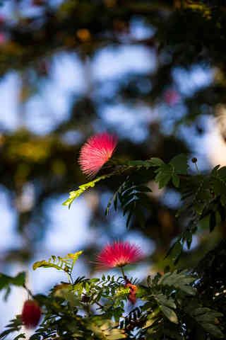 Nature's Pom Pom.jpg