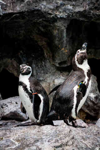 Posing for the Camera (Penguin)
