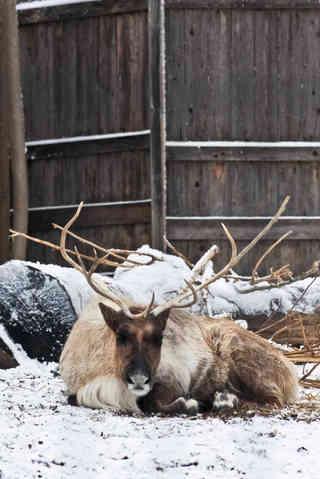 Enjoying the Snow (Caribou)