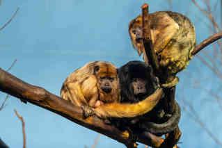 Eyes in the Trees (Howler Monkey)