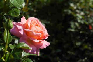 Pink Rose Beauty.jpg
