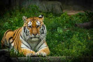 Next Strike (Tiger)
