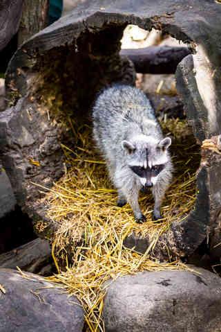 Racoon in the Den