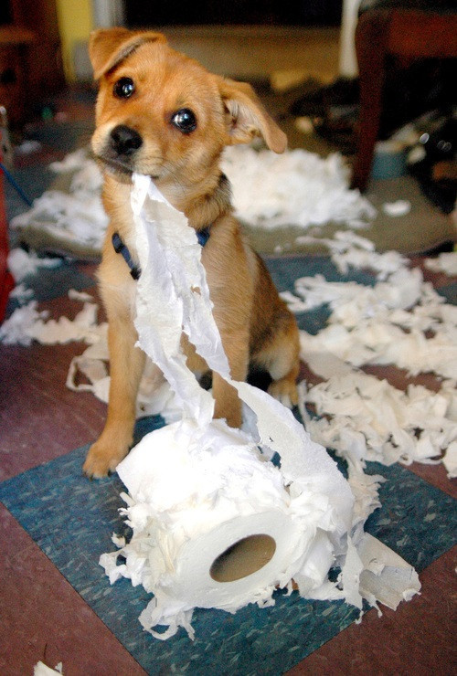 Pup home alone destructive chewing