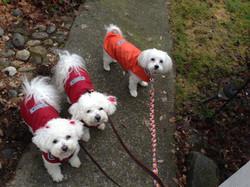 three cute white pups