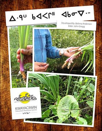 Picking Garlic (OjiCree Syllabics)