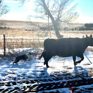 Bella on cow .jpg