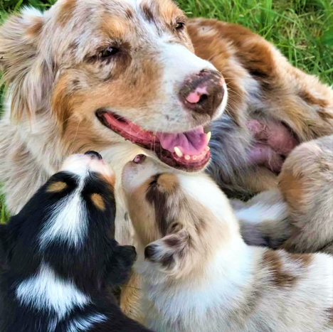Bailey w pups.png