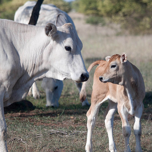 Chianina Cow and Calf Gallery 2018